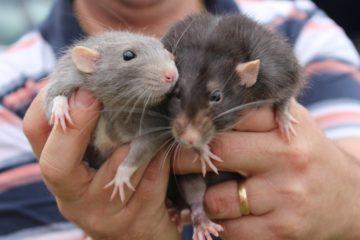 prolifération des rats dans la ville
